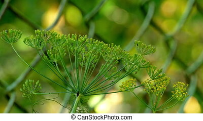 The top of the fennel-on mesh background with insects UHD