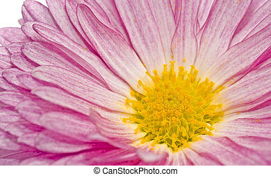 Golden-daisy or chrysanthemum on white - Golden-daisy or...