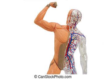 anatomía, aislado, humano, modelo
