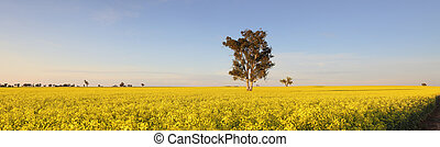 Morning Light on Canola fields - The landscape becomes a sea...