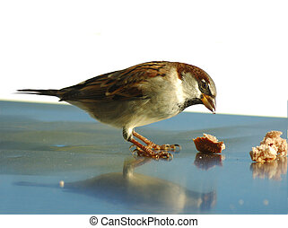 Sparrow Eating - Sparrow eating.