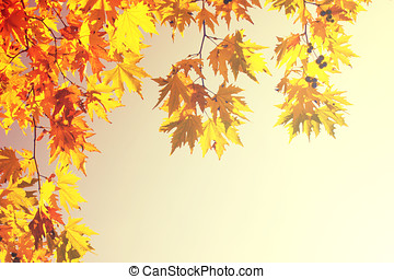 Sycamore Tree Leaves in Fall for Background or Decoration