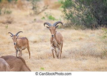 Aoudad Ram Walking - Aoudad Ram walking proudly in field...