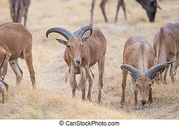 Aoudad Ram Standing - Aoudad Ram standing in field among a...