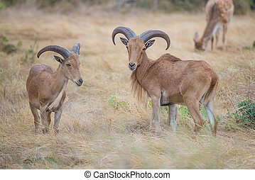 Aoudad Ram and Ewe - Aoudad Ram Standing proudly in field...