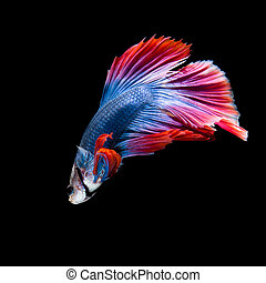 betta fish on black - Red and blue siamese fighting fish,...