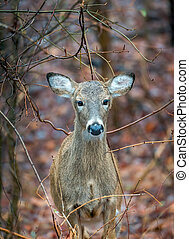 Wild Deer in the wilderness of Maryland during Autumn