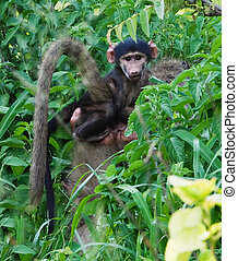 baby baboon - Botswana, Okavango delta, Chobe, baby baboon...