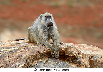 Baboon on stone in National park of Kenya, Africa