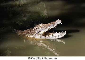 crocodiles - two crocodiles hiding in muddy shallow waters,...