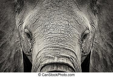 Elephant - Close-up of African Elephant (Loxodonta...
