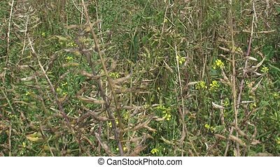 Mustard field, blooming   pods - full screen