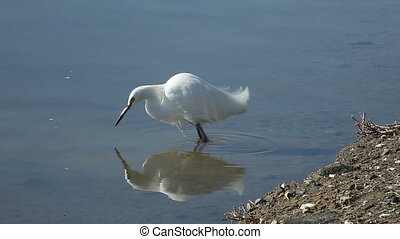 fishing egret - a snowy egret hunts for food using the...