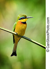 Bee-eater - European bee-eater (Merops Apiaster) outdoor on...