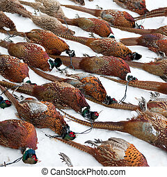 Dead Pheasants lined up on the snow after a hunting trip