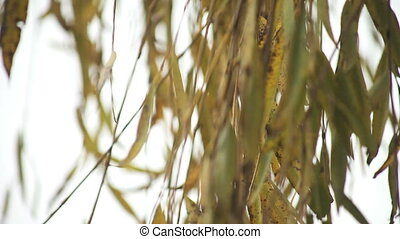 willow leaves - mostly brown weeping willow leaves in winter