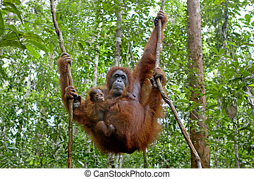 Orangutan with her baby - Mother orangutan and her baby...