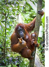 Orangutan with her baby - Mother orangutan and her baby...