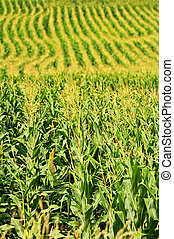 Corn field - Agricultural landscape of corn field on small...