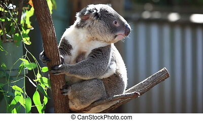 Cute koala in a gumtree