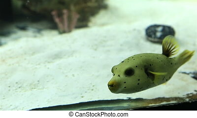 Tetraodon is a genus in the pufferfish family. Beautifully...