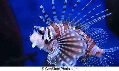 Red lionfish is a venomous, coral reef fish in family Scorpaenidae