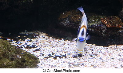 Picasso Triggerfishes in beautifully decorated Marine...