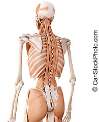 hip muscles - medically accurate anatomy illustration - back...