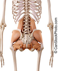 hip muscles - medically accurate anatomy illustration - hip...
