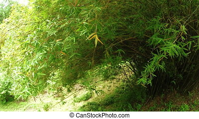 Bamboo glaucescent - In botanical garden bush number Bambusa...
