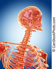 the cervical spine - glass skeleton illustration - the...