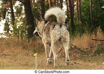 Grey dog running away