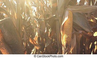 Ear of the corn in field - Harvest ready ear of the corn in...