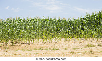 Bad corn growing - A part of a corn field is growing very...