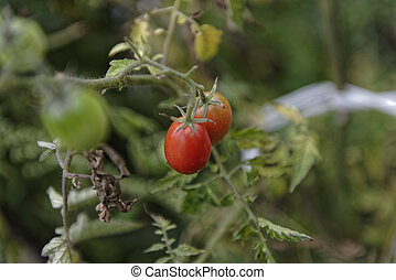 Growing tomatoes on a blurry background