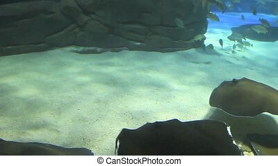 A Group of Large Manta Rays - Group of Large Manta Rays