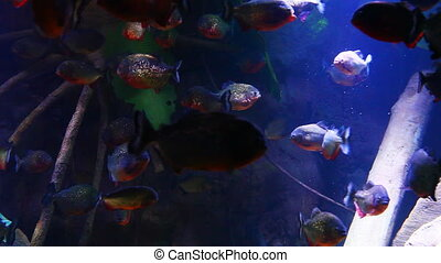 A school of Red-bellied Piranha, Pygocentrus nattereri, in...