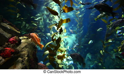 Fish drift, Pacific Kelp Forest