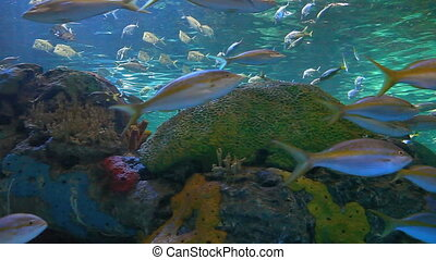 Large schools of fish drift in reef - Large schools of fish...