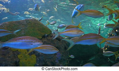 Large schools of fish drifting in a coral reef