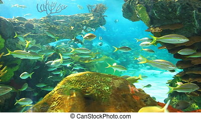 Yellowtailed Snapper swimming