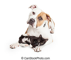 Friendly Pit Bull Dog and Affectionate Kitten - Beautiful...