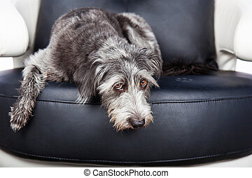 Dog Laying On furniture With Pawprint - Cute scruffy terrier...