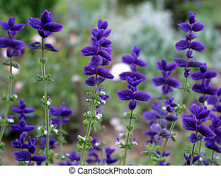 beautiful flowers of salvia - bright salvia plant in the...