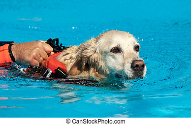 Lifeguard dog, rescue demonstration with the dogs in the...