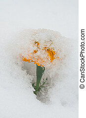 Snow Umbrella - Season Confusion: Macro of an orange...