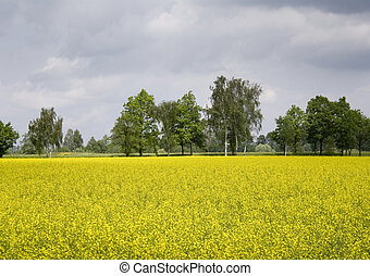 Oilseed rape - Yellow oilseed rape in southern Poland