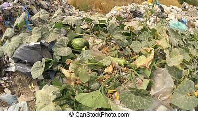 Green Melon Growing On A Heap Of Garbage - This is a shot of...