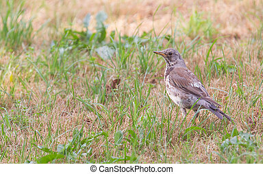 Young song thrush Turdus philomelos in the grass