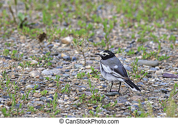 White wagtail - Motacilla alba is a small passerine bird in...